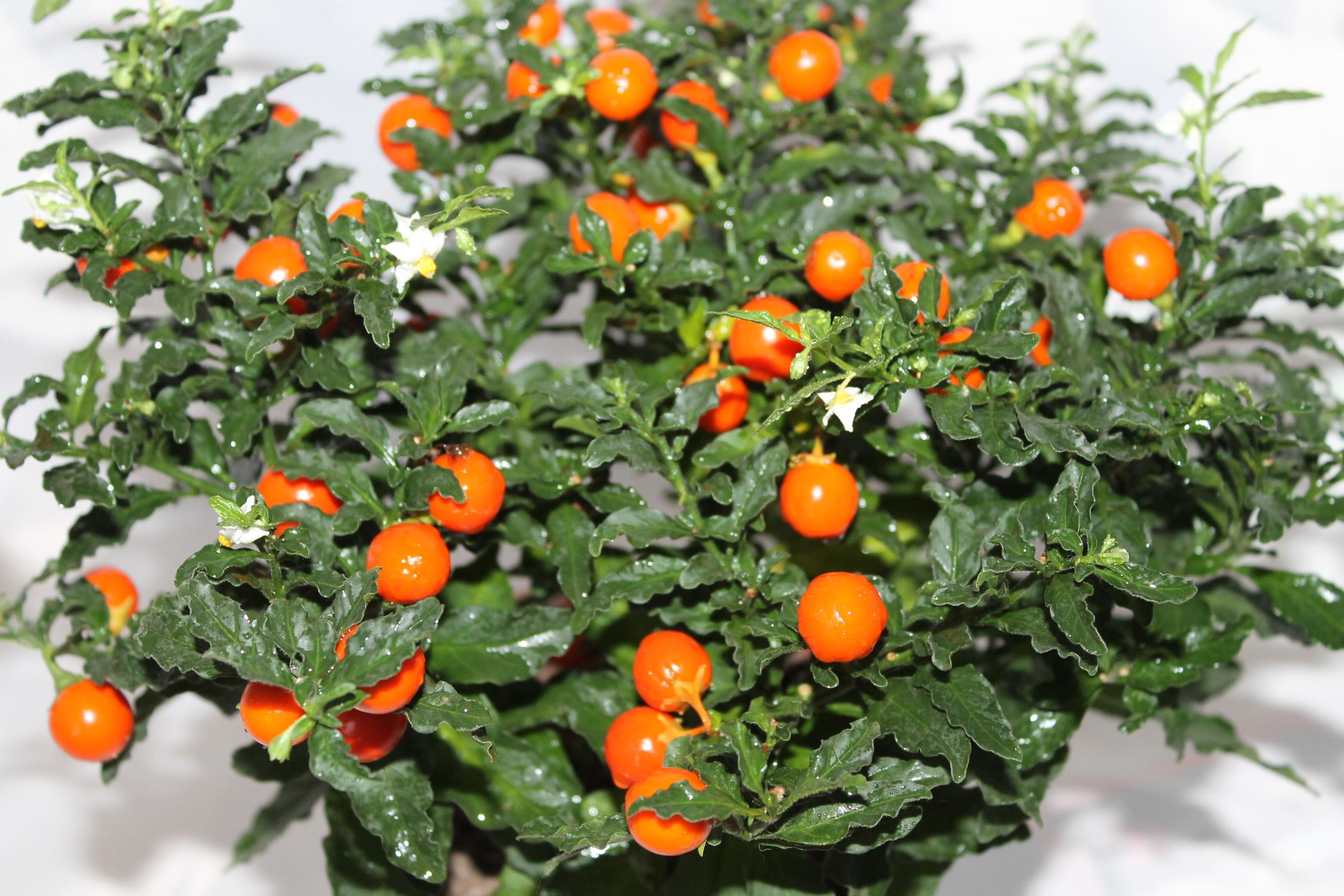 Название цветка с красными ягодами