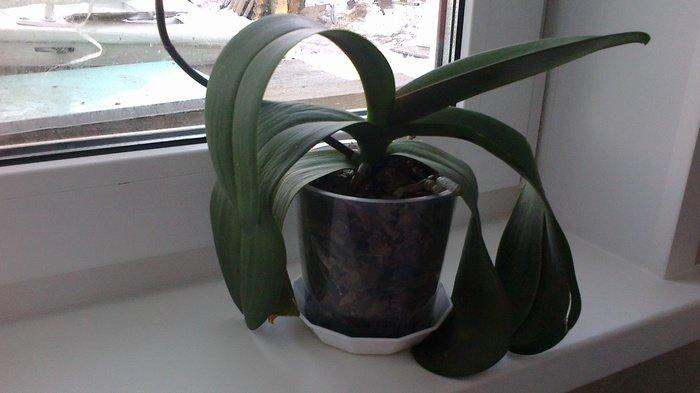 Тургор листьев орхидеи